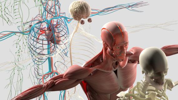 Halvårsstudium i anatomi og fysiologi